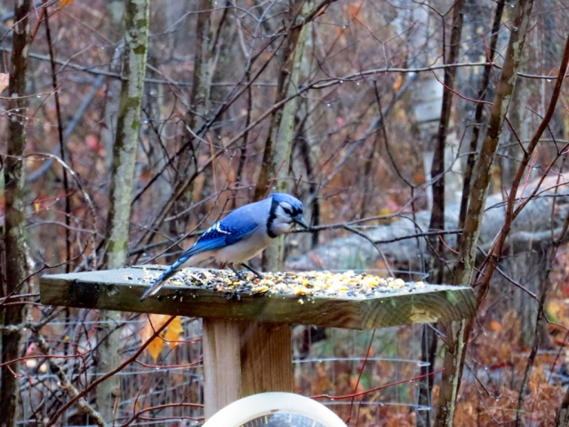 Blue jays were my first visitors this morning.