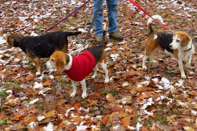 Snow or not, the beagles want their hike!