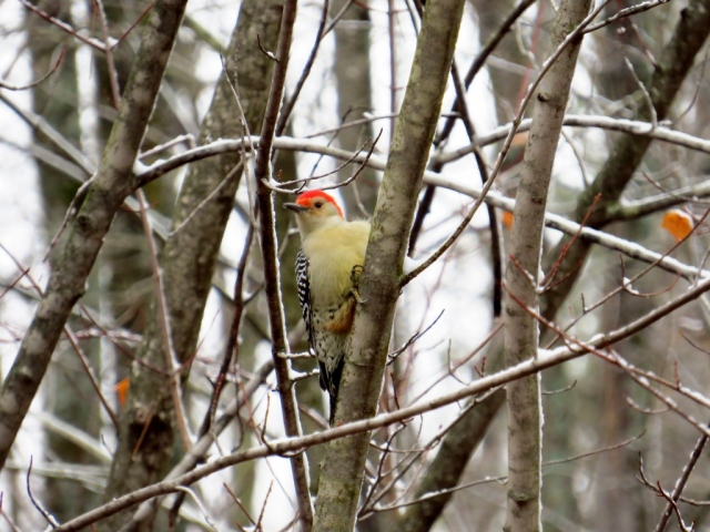 Red-bellied woodpecker coming to check things out.