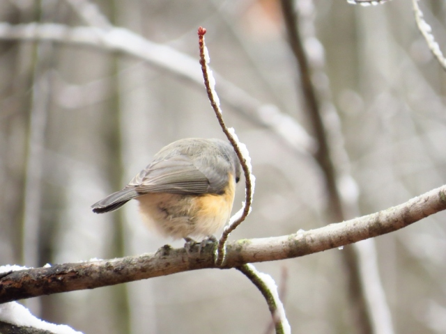 Tufted titmouse showing me his best side!