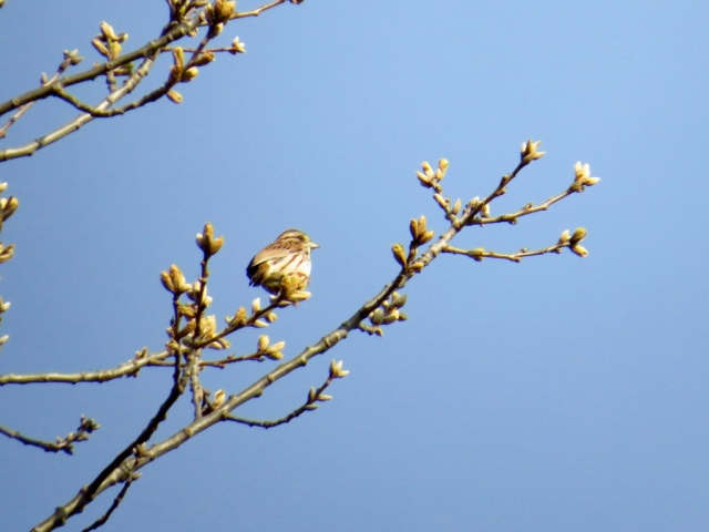 Song sparrow in the oak tree.